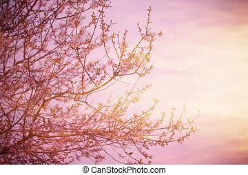 blomning, träd, över, solnedgång