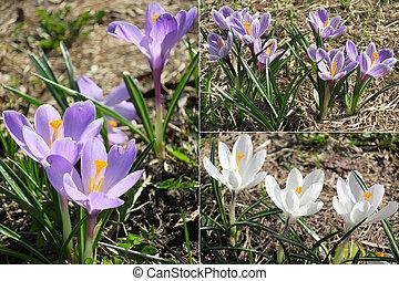 blomning, vår blommar, krokus, växande