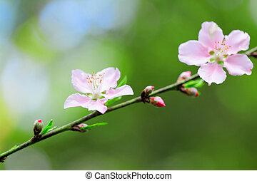 blomningen, av, körsbär blomstrar, på, fjäder, dag