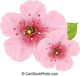 blomningen, blomma, körsbär
