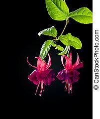 blomningen, fuchsia