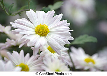 blomningen, in, trädgård