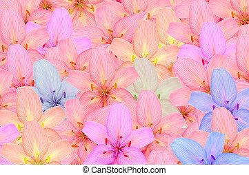 blomningen, lilja, flerfärgad