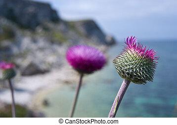 blomningen, pinkish-purple, tistel