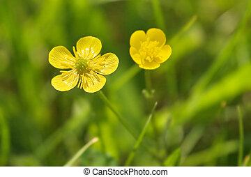 blomningen, två, gul