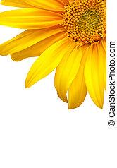 blomst, backgound., solsikke, vektor, kunst