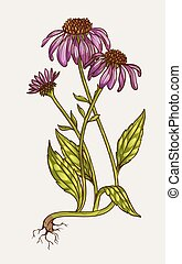 blomst, echinacea, illustration