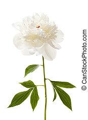 blomst, isoleret, peony