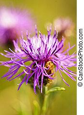 blomst, knapweed