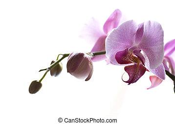 blomst, orkidé