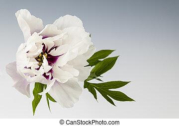 blomst, peony, æn