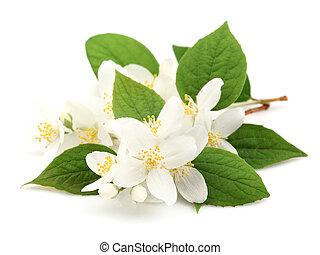 blomster, i, jasmine