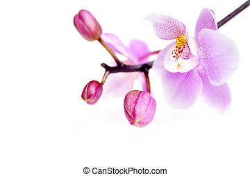 blomster, i, smukke, orkidé, isoleret