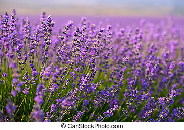 blomster, lavendel