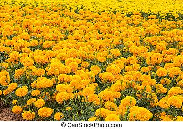 blomster, marigold
