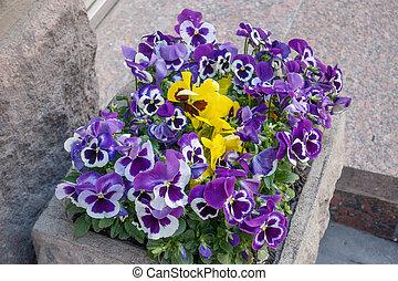 blomsterrabatt, med, flerfärgad, viol blommar, på, a, arbat, gata, in, moskva, ryssland