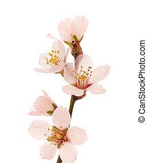 blomstr, kvist, mandel