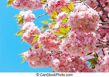 blomstrande, av, rosa, körsbär, över, blåttsky