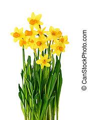 blomstrande, påskliljor, isolerat, vita