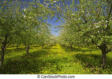 blomstre, æble, have