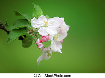 blomstre, æble