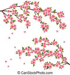 blomstre, kirsebær, hen, -, japansk, træ, vektor, sakura, hvid