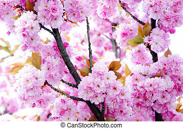 blomstre, kirsebær