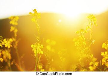 blomstrede, baggrund, wildflowers, naturlig, gul