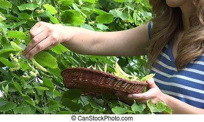 blond girl pick linden herbs to wicker dish.