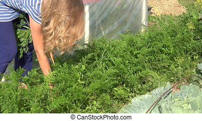 Blond hair farmer woman picking carrot in farm vegetable plantation. 4K