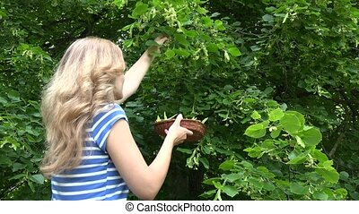 blond herbalist woman picking linden flowers herbs for...
