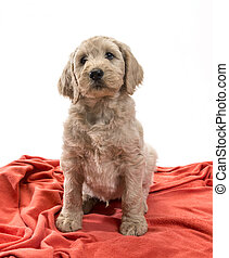 blond, labradoodle