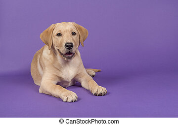 Blond labrador retriever lying down with open mouth on a purple background