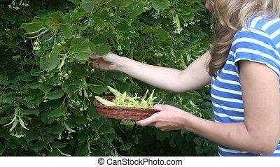 blonde woman pick fresh linden plant blossom on basket. 4K