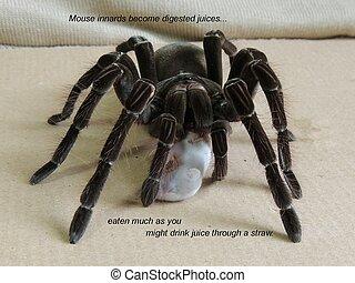 Blondi Goliath Tarantula Dining - Theraphosa blondi...