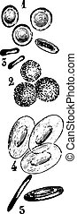 Blood cells, vintage engraving.