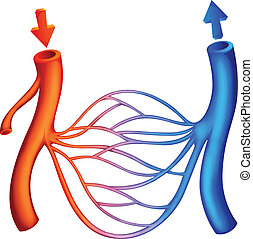 Blood Circulation - Illustration showing the blood ...