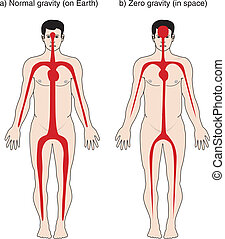 Illustration of how blood in the body is affected, normal gravity versus zero gravity