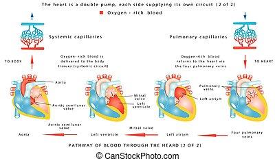 Blood flow (2 of 2). The human heart work. Human circulatory...