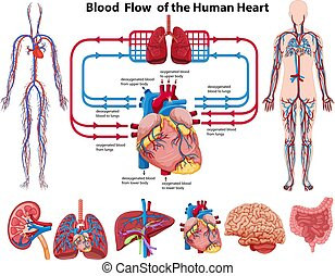 Blood flow of the human heart illustration