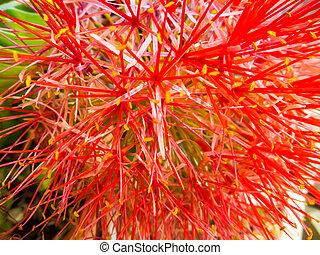 blood flower, powder puff lilly