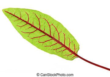 Blood Sorrel (Rumex sanguineus), fresh leaves isolated against a white background