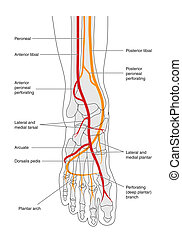 Blood supply to foot - labeled