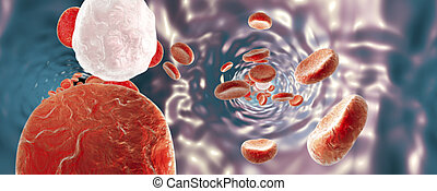 Blood vessel with erythrocytes