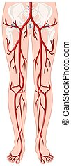 Blood vessels in human body illustration