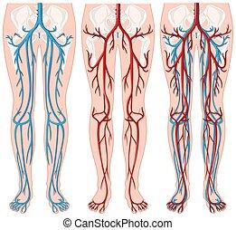 Blood vessels in human legs illustration
