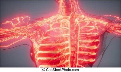 science anatomy scan of human blood vessels