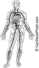 Blood vessels, vintage engraving. - Blood vessels, vintage...