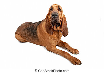 Bloodhound Dog Isolated on White - Large Bloodhound dog...
