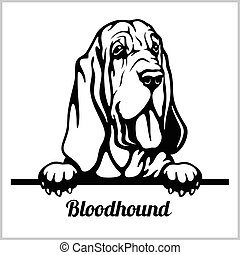 Bloodhound - Peeking Dogs - breed face head isolated on white